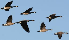 Geese 1
